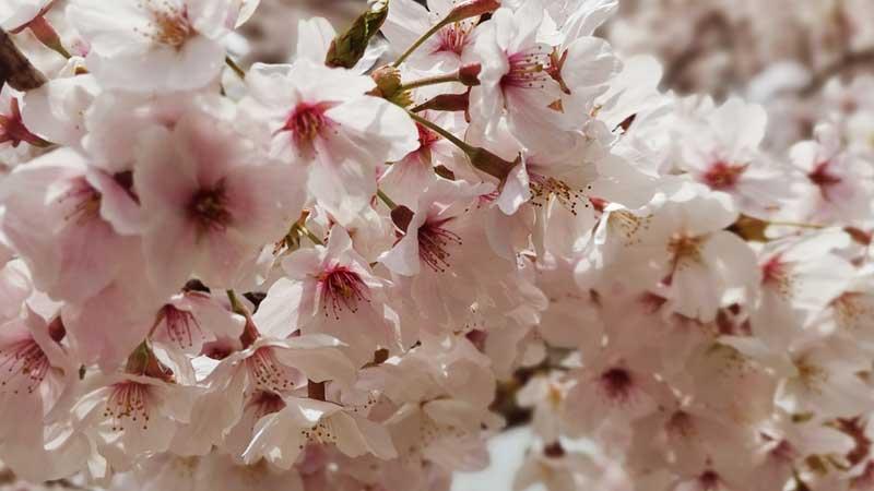 大学合格の桜